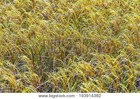 Rice paddy it ripe and slope in rice field at countryside of Thailand.