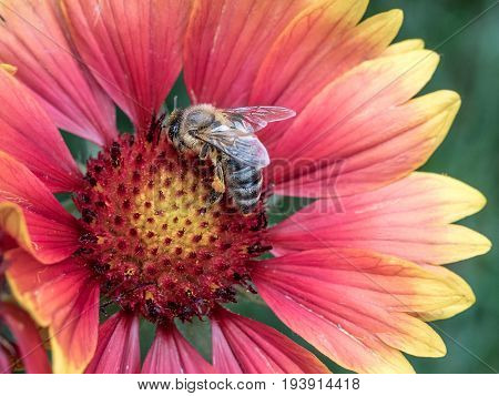 Macro photo of a bee close up. A bee collects nectar from flower. Bee on a flower. Macro photo of an insect in summer