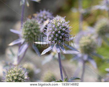 Close up of sea holly blue inflorescence (eryngium planum ) Wild medicinal plants of Siberia. Macro shallow depth of field