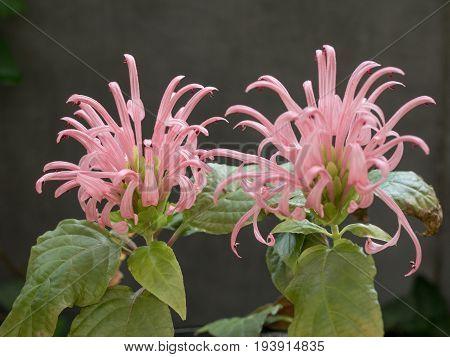 Flamingo flower or Brazilian plume flower (Justicia carnea) Macro shallow depth of field