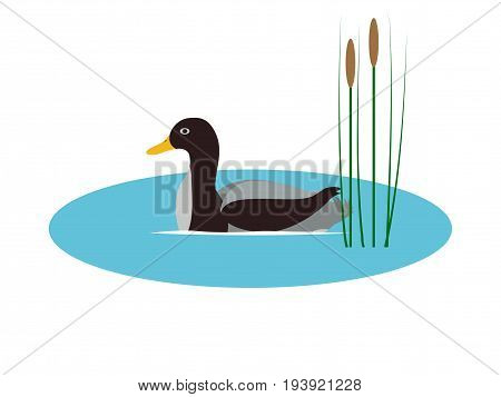 Vector illustration of a wild duck in a pond with reeds. Isolated white background. Flat style. A wild bird floats on the water.