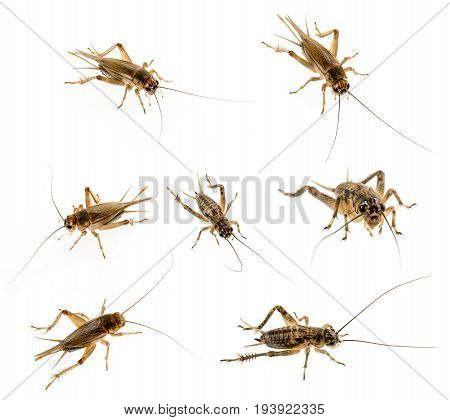 cricket - Gryllus assimilis - feeding insects - set / collection
