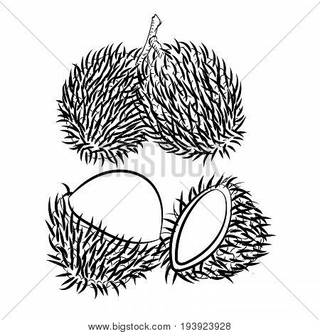 Hand drawn sketch of Rambutan isolated Black and White Cartoon Vector Illustration for Coloring Book - Line Drawn Vector