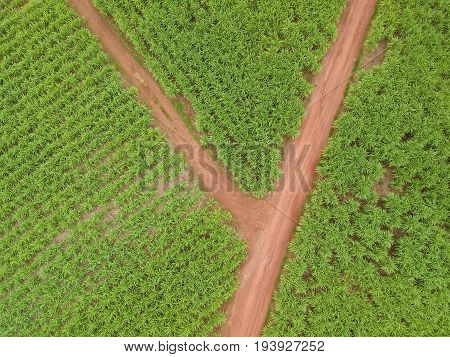 Aerial view of sugar cane field.Sugar cane farm