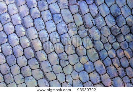 macro detail of lizard skin (gecko Phelsuma madagascariensis)