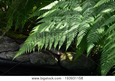 Fern fronds over water in the garden