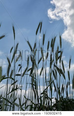 Grain ears  from underneath against blue sky and clouds