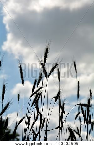 Grain ears against blue sky with clouds