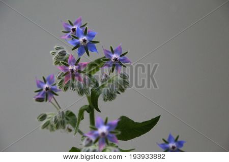 Blue and purple edible borage flowers on a gray background