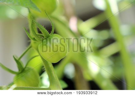 Close up of green tomato fruits on a tomato plant