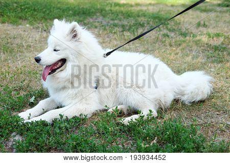 White Samoyed laika girl dog in the park outdoor in summer. Large breed herding dog.