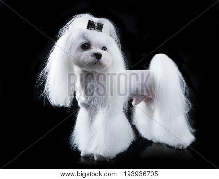 Maltese, beautiful haircutGrooming