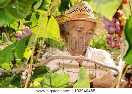 Caucasian Senior winemaker cuts twigs on vine