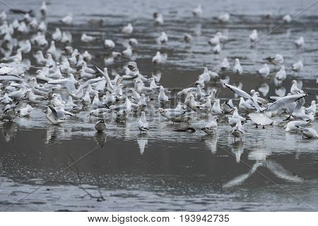 Black-headed Gull - Chroicocephalus ridibundus on a pond - catching fish after fishing pond