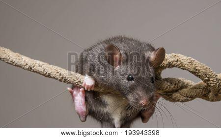 Rattus norvegicus - pet rat close up