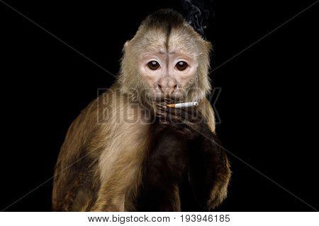 Smoking Capuchin Monkey on Isolated Black Background