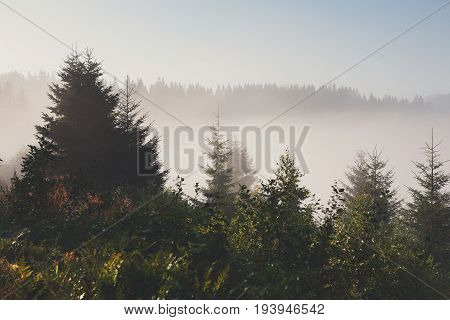 Evergreen forest overview. Tops of tall green trees with dense morning fog, landscape background