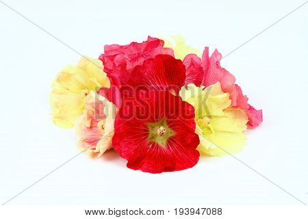 Hollyhock flower Alcea rosea on white background. Good against cough laxative and inflammation herbal medicine.