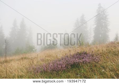 Bossoming field in morning mist. Purple wild flowers in yellow grass and hazy pinetrees afar, background