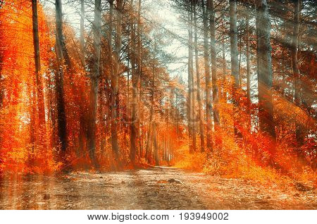 Forest sunny autumn landscape -row of autumn yellowed trees under sunlight. Autumn yellowed trees in the autumn forest in sunny weather -colorful autumn landscape scene of autumn nature