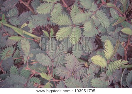 Mimosa pudica plant sensitive plant sleepy plant the touch-me-not plant Biennial plants