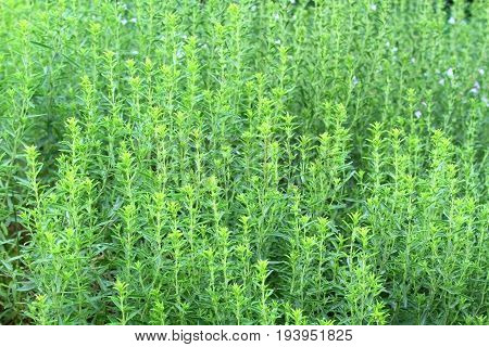 Winter savory herb Satureja montana in early summer. Fresh winter savory good for natural background.