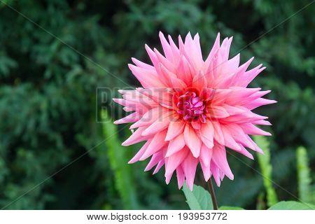 Pink flower Vale dos Vinhedos valley Bento Goncalves Rio Grande do Sul Brazil