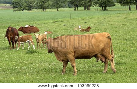 A small group of Hereford cows and their calves on a Wisconsin dairy farm