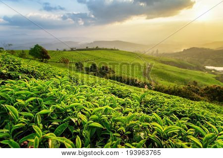Amazing Rows Of Green Tea Bushes And Colorful Sunset Sky