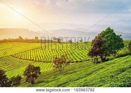 Scenic View Of Tea Plantation. Amazing Summer Rural Landscape