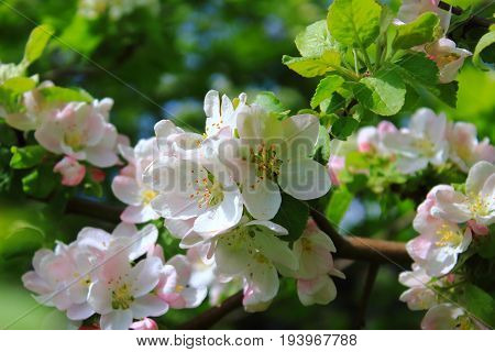 The Apple trees are blooming white flowers. White Apple tree blossoms. The Apple tree twig with white flowers Spring flower background. Green Apple tree in bloom. Apple blossoms. Wild Apple tree. Apple tree in the garden