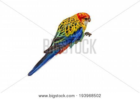 White-breasted parakeet or also called Rosella against white background.