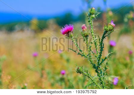 Milk thistle Silybum marianum Field with Silybum marianum Milk Thistle Medical plants.