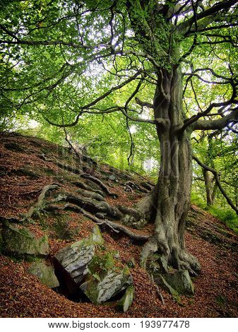twisted old tree on a rocky hillside with spreading roots in a forest