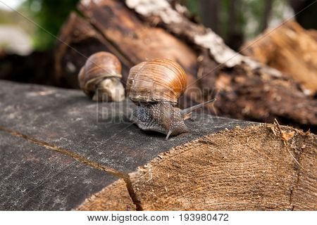 Close Up View Of Burgundy Snail (helix, Roman Snail, Edible Snail, Escargot) Crawling On The Trunk O