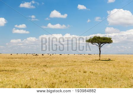 nature, landscape and wildlife concept - acacia tree and herd of grazing animals in maasai mara national reserve savannah at africa