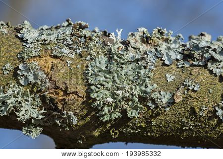 lichen close up - detail - Hypogymnia physodes