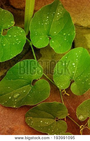 background of dew drops on brightleaf. leaf with dew drops closeup. Nature Background