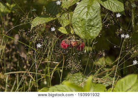 Mountain flower glade with fresh and ripe raspberry fruit and leaves, Plana mountain, Bulgaria