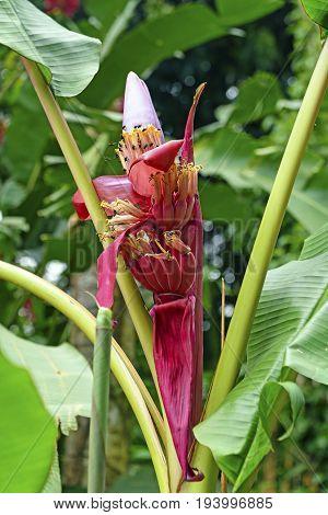 Banana Tree Flower in the Tropics of Costa Rica
