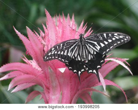 Beautiful closeup foto with black and white butterfly sitting on pink flower