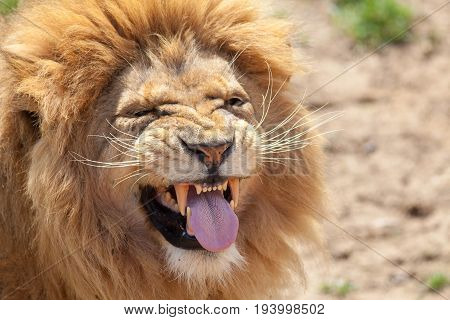 Lion pulling a funny face. Animal tongue and canine teeth. Top dangerous predator with a look of disgust.