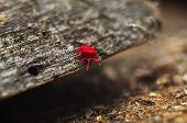 Red Velvet Mite or Rainbug on the wood poster