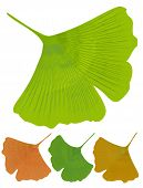 Isolated leaf of ginkgo biloba medicinal tree with anti-oxidant effect. Tree color variants - green yellow orange poster