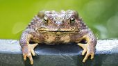 a tailless amphibian with a short stout body and short legs, typically having dry warty skin that can exude poison poster