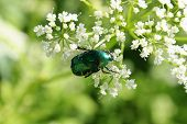 Beetle (Green Rose Chafer) decided to eat the pollen of the flower before anyone else. poster