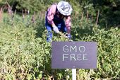 Farmer working in the GMO free vegetable garden poster