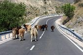 cows in road poster