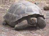 a giant tortoise in the galapagos islands. poster