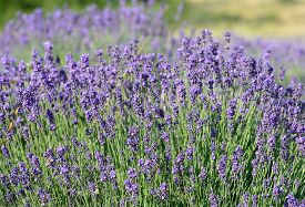 Purple and green lavender on a field.